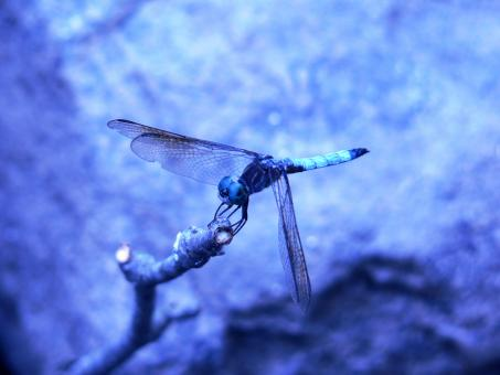 Free Stock Photo of Dragonfly in a blue cast