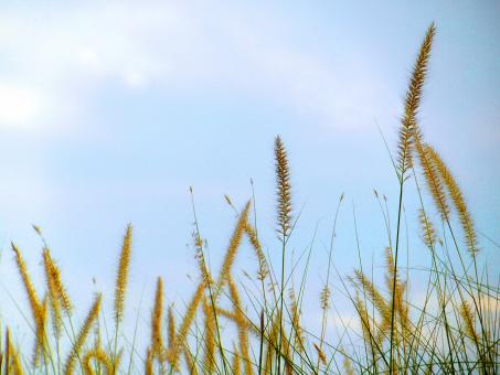 Free Stock Photo of Long Grass