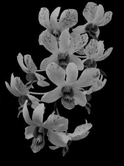 Free Stock Photo of Orchids Black and White