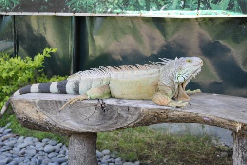 Free Stock Photo of Iguana