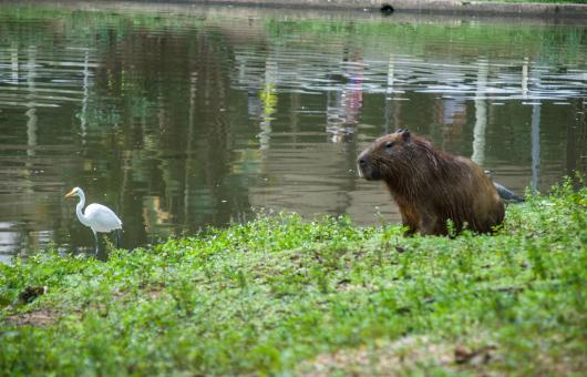 Free Stock Photo of Capivara