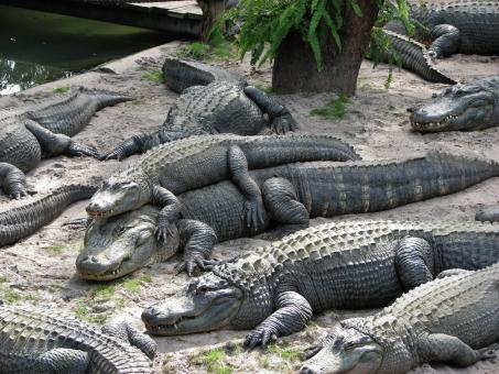 Free Stock Photo of Smiling Alligators