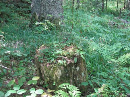 Free Stock Photo of Old stump in the forest