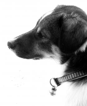 Free Stock Photo of Pet Dog Black and White