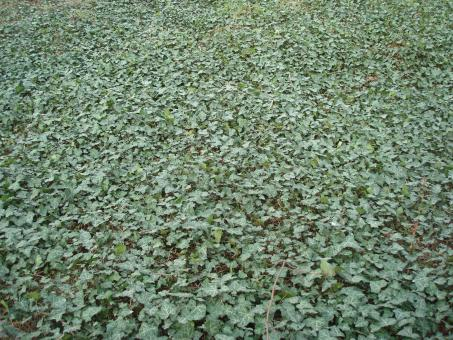 Free Stock Photo of Ivy covered ground