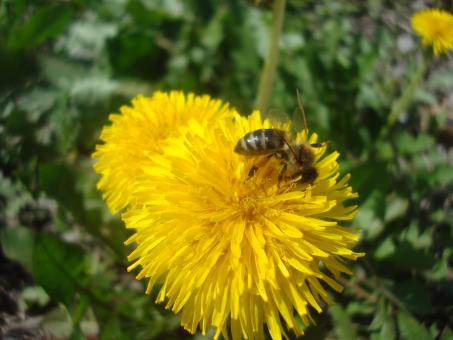 Free Stock Photo of A bee on a yellow dandelion flower