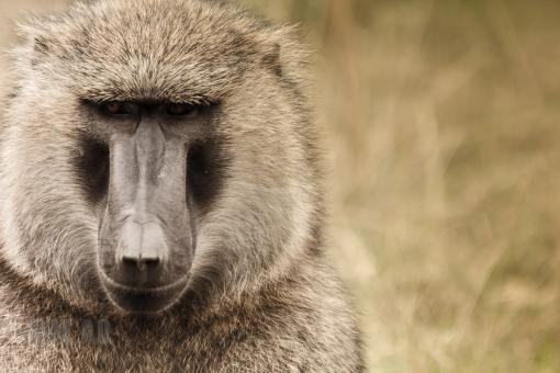 Free Stock Photo of Baboon