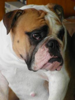Free Stock Photo of Grumpy Bulldog