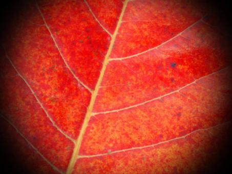 Free Stock Photo of Red Leaf Close-up