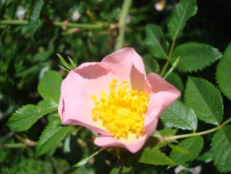 Free Stock Photo of Wild rose flower