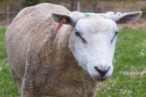 Free Stock Photo of Sheep