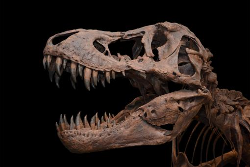 Free Stock Photo of Tyrannosaurus on black background