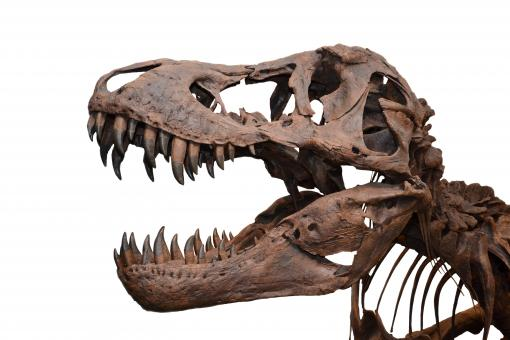 Free Stock Photo of Tyrannosaurus on white background