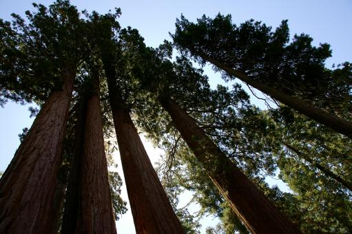 Free Stock Photo of Sequoia Row