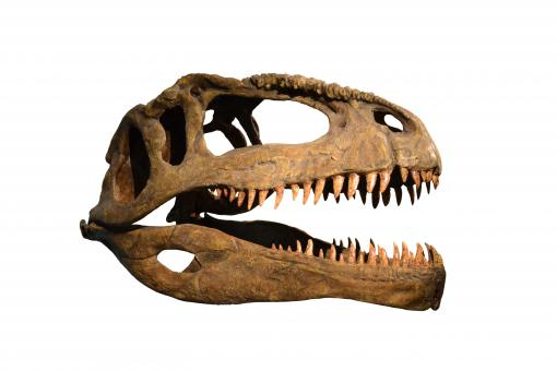 Free Stock Photo of Skull of dinosaur on white background