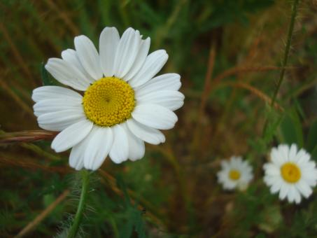 Free Stock Photo of Daisy flowers