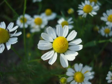 Free Stock Photo of Chamomile flower
