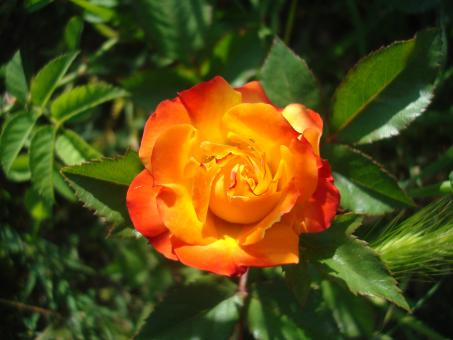 Free Stock Photo of Orange rose
