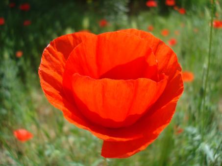 Free Stock Photo of Red poppy flower