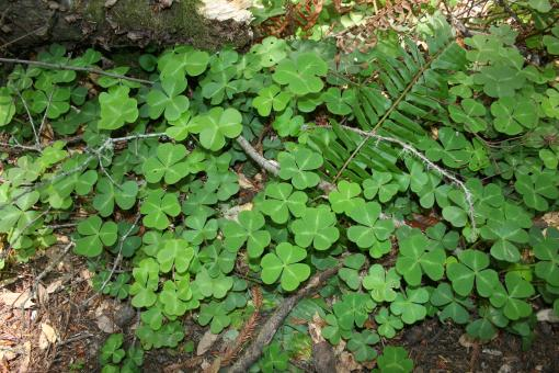 Free Stock Photo of Forest Clover