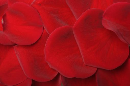 Free Stock Photo of Red rose petals