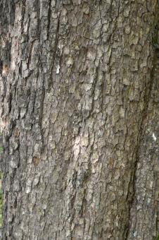 Free Stock Photo of Bark of field maple