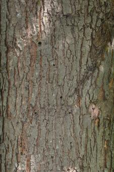 Free Stock Photo of Bark of red maple