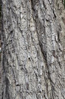 Free Stock Photo of Bark of white walnut