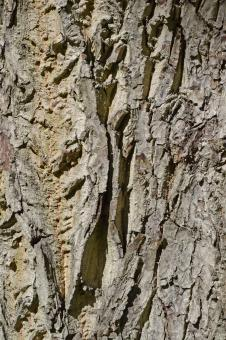 Free Stock Photo of Bark of english walnut