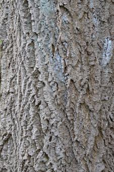 Free Stock Photo of Bark of amur cork tree