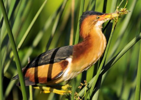 Free Stock Photo of Least Bittern