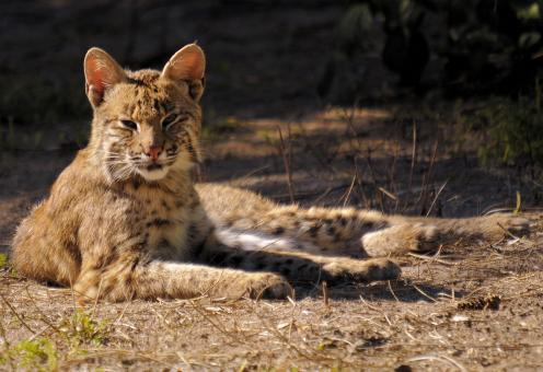 Free Stock Photo of American Bobcat