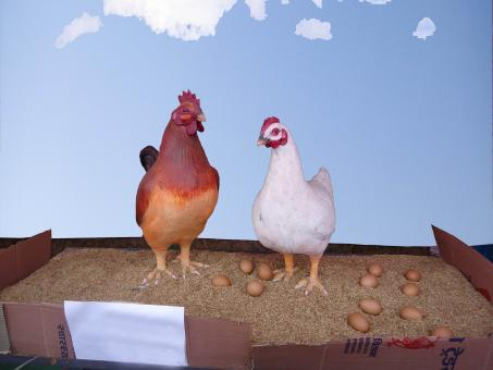 Free Stock Photo of Cock and Hen