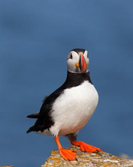 Free Stock Photo of Puffin