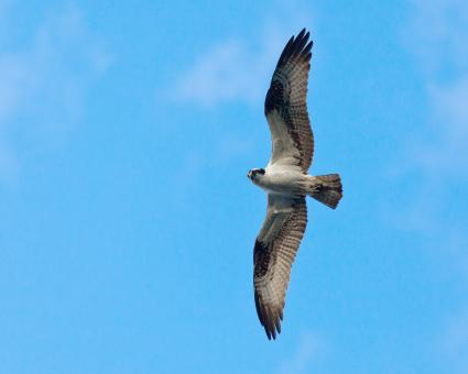 Free Stock Photo of Osprey