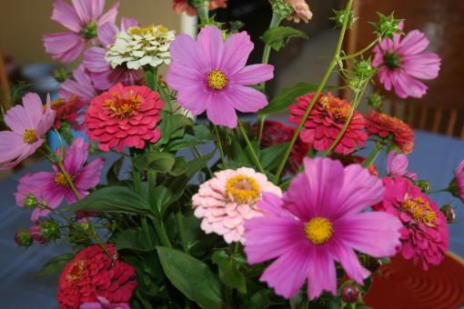 Free Stock Photo of Zinnias and Cosmos