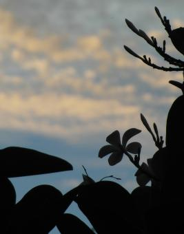 Free Stock Photo of Tropical Flower Silhouette