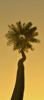 Free Stock Photo of Palm Tree