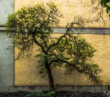 Free Stock Photo of Small tree next to the wall