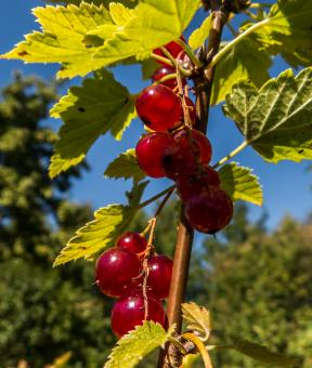 Free Stock Photo of Redcurrant