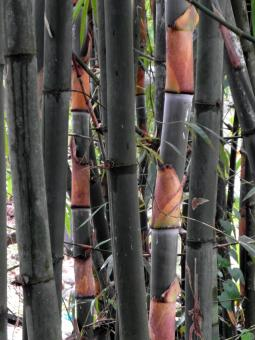 Free Stock Photo of Bamboo Stems