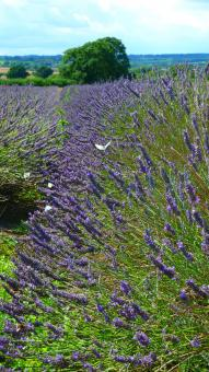 Free Stock Photo of The Lavender Field