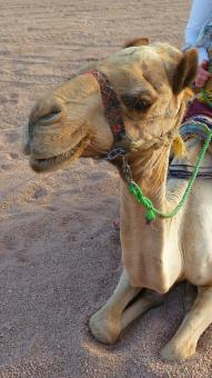 Free Stock Photo of Camel