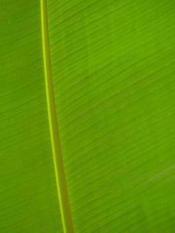 Free Stock Photo of Banana Leaf Background