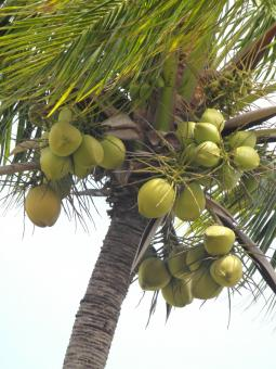 Free Stock Photo of Coconut tree
