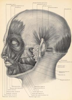 Free Stock Photo of Muscles of Face and Scalp, Circa 1902