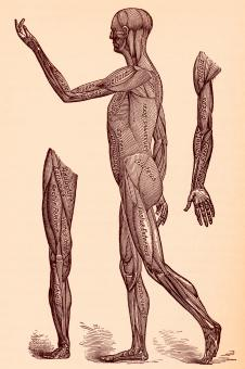 Free Stock Photo of Human Musculature System, Circa 1911