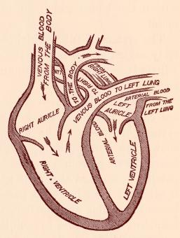 Free Stock Photo of Human Heart Blood Circulation, Circa 191