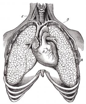 Free Stock Photo of Human Heart & Lungs, Circa 1911
