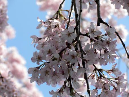 Free Stock Photo of Pink white cherry blossom flowers